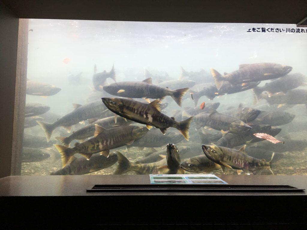 千歳水族館・水中観察ゾーン